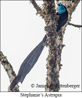 Stephanie's Astrapia - © James F Wittenberger and Exotic Birding Tours