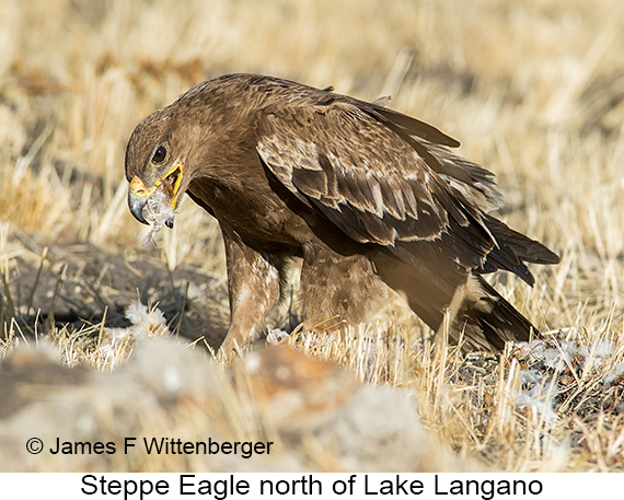 Steppe Eagle - © The Photographer and Exotic Birding LLC