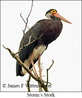 Storm's Stork - © James F Wittenberger and Exotic Birding Tours
