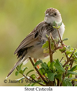 Stout Cisticola - © James F Wittenberger and Exotic Birding Tours
