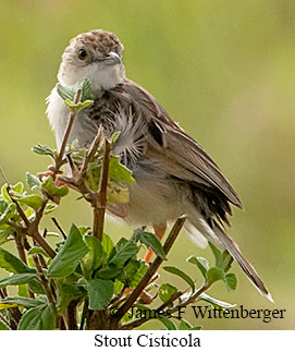 Stout Cisticola - © James F Wittenberger and Exotic Birding LLC