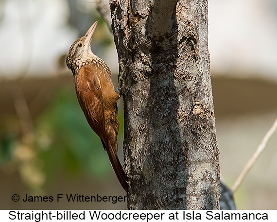 Straight-billed Woodcreeper - © James F Wittenberger and Exotic Birding LLC