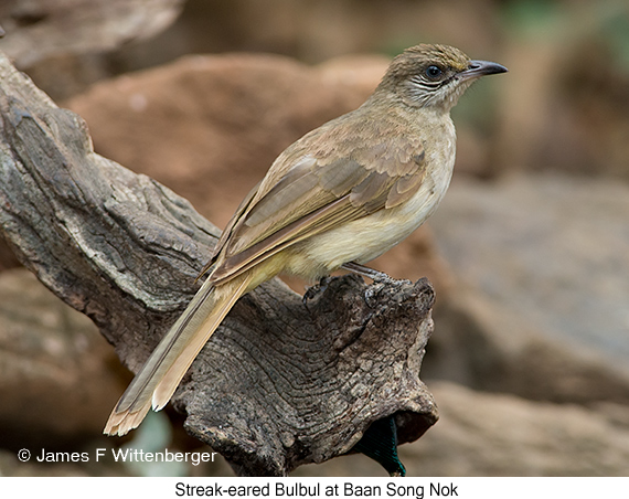 Streak-eared Bulbul - © James F Wittenberger and Exotic Birding Tours