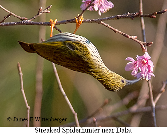 Streaked Spiderhunter - © The Photographer and Exotic Birding LLC