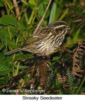 Streaky Seedeater - © James F Wittenberger and Exotic Birding Tours