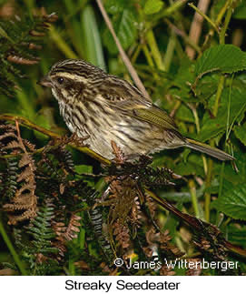 Streaky Seedeater - © James F Wittenberger and Exotic Birding LLC