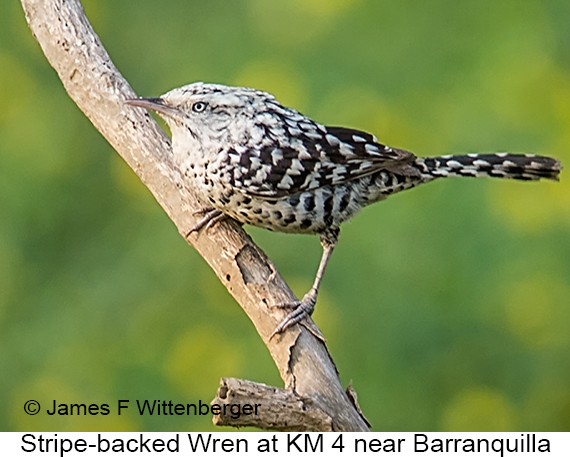 Stripe-backed Wren - © James F Wittenberger and Exotic Birding LLC