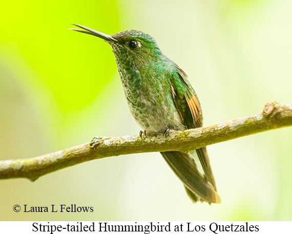 Stripe-tailed Hummingbird - © Laura L Fellows and Exotic Birding Tours
