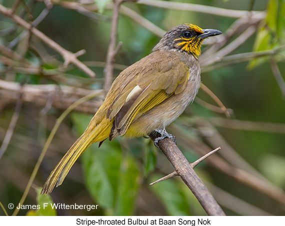 Stripe-throated Bulbul - © James F Wittenberger and Exotic Birding Tours