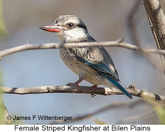 Striped Kingfisher - © James F Wittenberger and Exotic Birding LLC