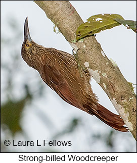 Strong-billed Woodcreeper - © Laura L Fellows and Exotic Birding LLC