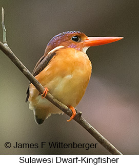 Sulawesi Dwarf-Kingfisher - © James F Wittenberger and Exotic Birding Tours