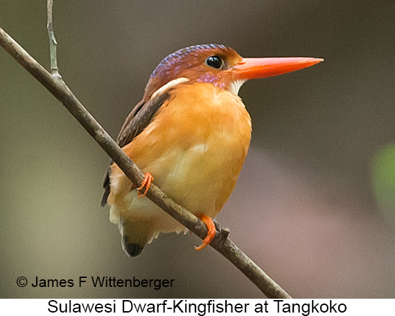 Sulawesi Dwarf-Kingfisher - © James F Wittenberger and Exotic Birding LLC