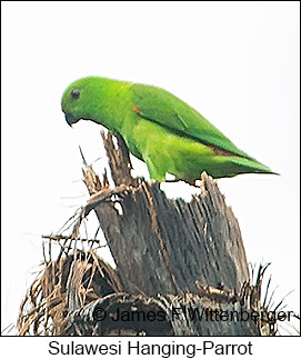 Sulawesi Hanging-Parrot - © James F Wittenberger and Exotic Birding Tours