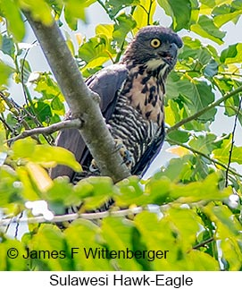Sulawesi Hawk-Eagle - © James F Wittenberger and Exotic Birding Tours