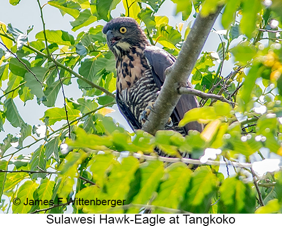 Sulawesi Hawk-Eagle - © James F Wittenberger and Exotic Birding LLC