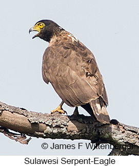 Sulawesi Serpent-Eagle - © James F Wittenberger and Exotic Birding Tours