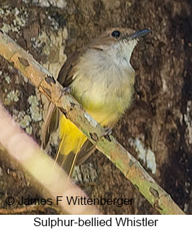 Sulphur-bellied Whistler - © James F Wittenberger and Exotic Birding Tours