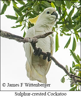 Sulphur-crested Cockatoo - © James F Wittenberger and Exotic Birding Tours