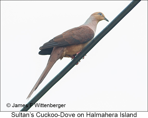 Sultan's Cuckoo-Dove - © The Photographer and Exotic Birding LLC