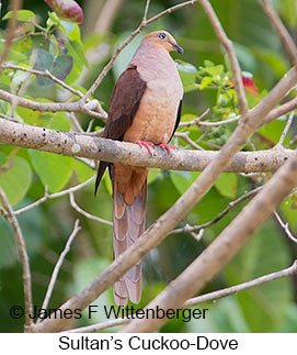 Sultan's Cuckoo-Dove - © James F Wittenberger and Exotic Birding Tours