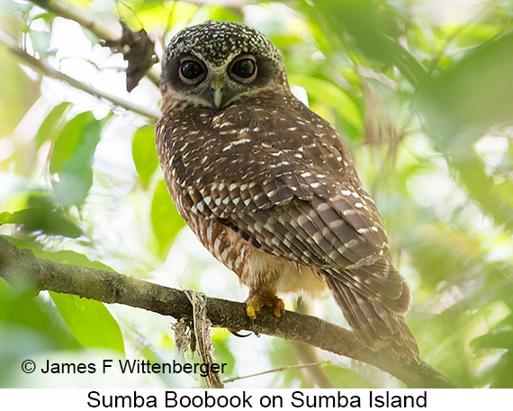 Sumba Boobook - © James F Wittenberger and Exotic Birding LLC