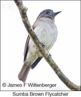 Sumba Flycatcher - © James F Wittenberger and Exotic Birding Tours
