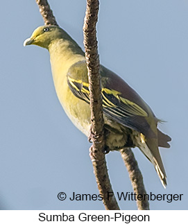 Sumba Green-Pigeon - © James F Wittenberger and Exotic Birding Tours