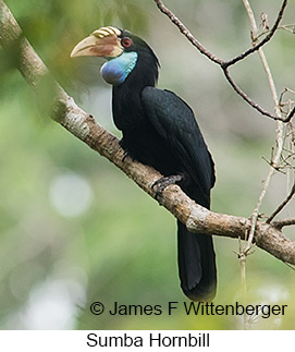 Sumba Hornbill - © James F Wittenberger and Exotic Birding Tours