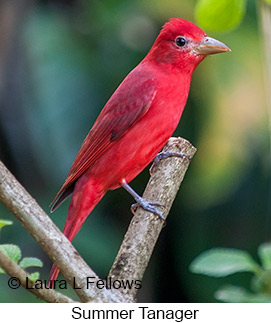 Summer Tanager - © Laura L Fellows and Exotic Birding LLC