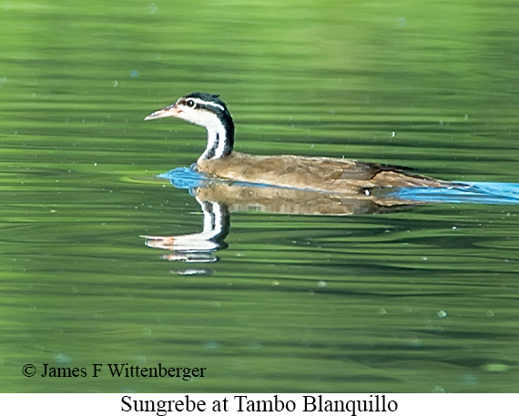 Sungrebe - © James F Wittenberger and Exotic Birding Tours