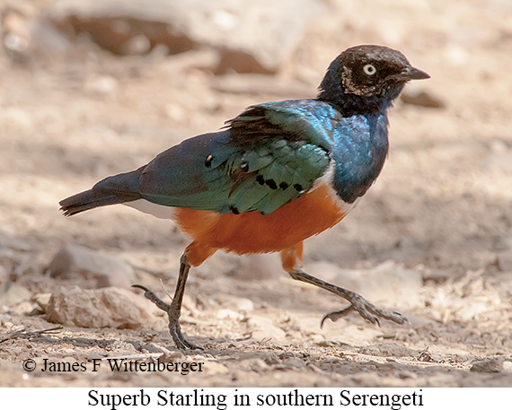 Superb Starling - © James F Wittenberger and Exotic Birding LLC