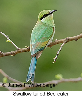 Swallow-tailed Bee-eater - © James F Wittenberger and Exotic Birding LLC