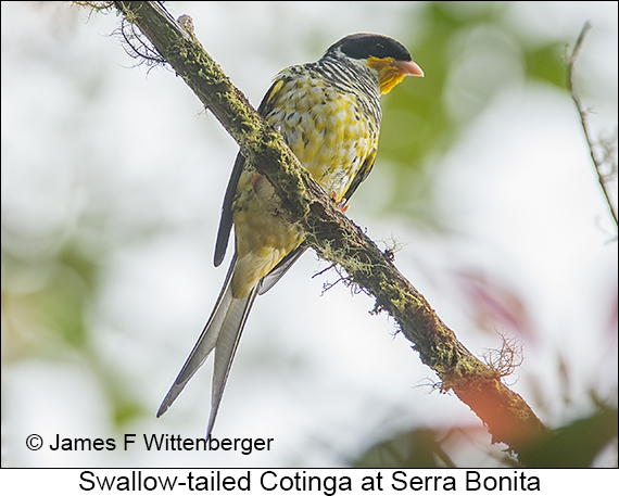 Swallow-tailed Cotinga - © James F Wittenberger and Exotic Birding LLC