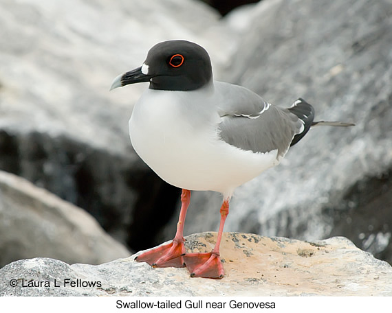 Swallow-tailed Gull - © Laura L Fellows and Exotic Birding LLC