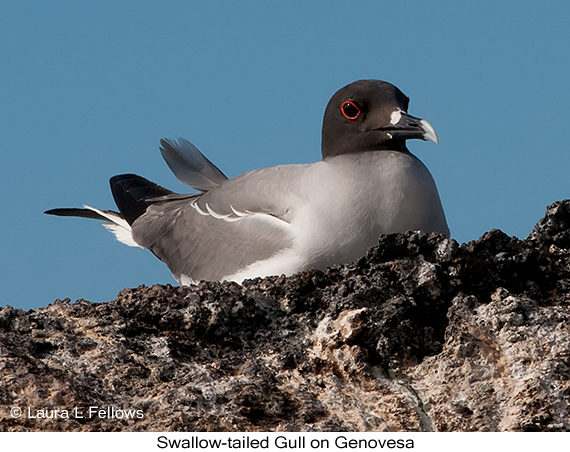 Swallow-tailed Gull - © The Photographer and Exotic Birding LLC