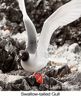 Swallow-tailed Gull - © Laura L Fellows and Exotic Birding Tours