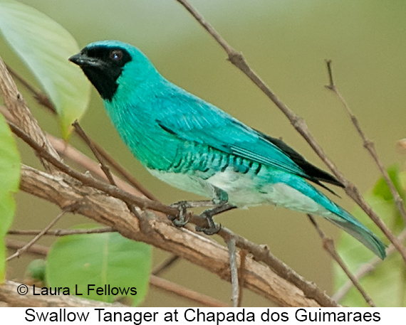 Swallow Tanager - © Laura L Fellows and Exotic Birding LLC