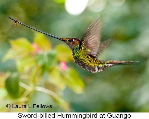 Sword-billed Hummingbird - © Laura L Fellows and Exotic Birding Tours
