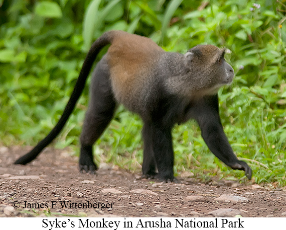 Syke's Monkey - © James F Wittenberger and Exotic Birding Tours