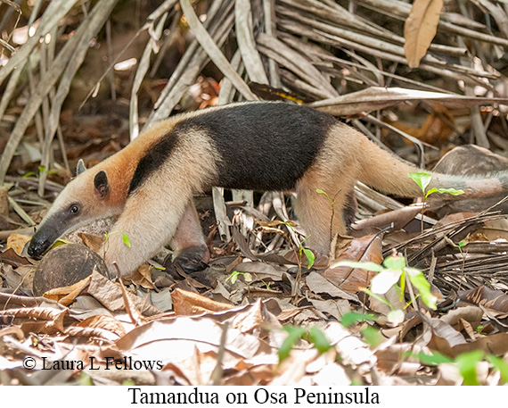 Tamandua - © Laura L Fellows and Exotic Birding Tours