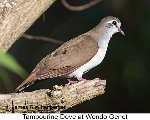 Tambourine Dove - © The Photographer and Exotic Birding LLC