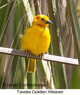 Taveta Golden-Weaver - © James F Wittenberger and Exotic Birding LLC