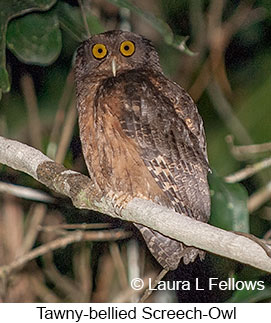 Tawny-bellied Screech-Owl - © Laura L Fellows and Exotic Birding LLC