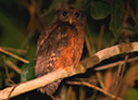 Tawny-bellied Screech-Owl - © Laura L Fellows and Exotic Birding Tours