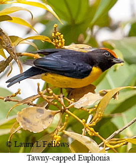 Tawny-capped Euphonia - © Laura L Fellows and Exotic Birding Tours