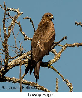 Tawny Eagle - © Laura L Fellows and Exotic Birding LLC
