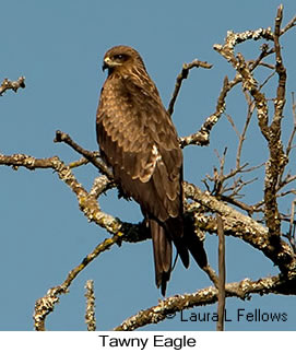 Tawny Eagle - © Laura L Fellows and Exotic Birding Tours