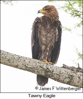 Tawny Eagle - © James F Wittenberger and Exotic Birding LLC