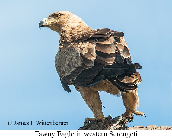 Tawny Eagle - © James F Wittenberger and Exotic Birding Tours